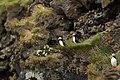 Lunder på klippevæg på sydspidsen af Heimaey.jpg
