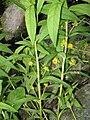 Lysimachia thyrsiflora flowers.jpg