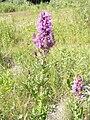 Lythrum salicaria OM48.jpg