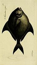 M.E. Blochii Systema ichthyologiae iconibus CX illustratum (1801) (14743434966).jpg