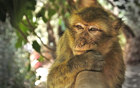 Macaca sylvanus at the Ouzoud Waterfalls (1).jpg