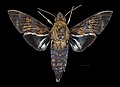 Macroglossum tenebrosa MHNT CUT 2010 0 217 Kuranda Queensland Australia Male dorsal.jpg