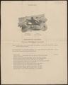 Macrorhamphus griseus - 1888 - Print - Iconographia Zoologica - Special Collections University of Amsterdam - UBA01 IZ17400158.tif