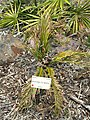Macrozamia polymorpha - University of California Botanical Garden - DSC08992.JPG