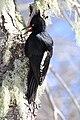 Magellanic woodpecker female.jpg