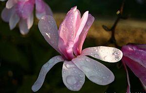 Magnolia × loebneri - Image: Magnolia loebneri
