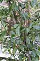 Magnolia cylindrica - Mount Sanqing 2015.09.08 10-49-07.jpg