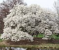 Magnolia kobus borealis.jpg
