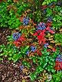 Mahonia aquifolium 002.JPG