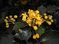 Mahonia aquifolium 2016-04-19 8166.jpg
