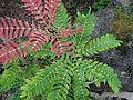 Mahonia lomariifolia kz1.jpg