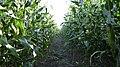 Maize Footpath. - panoramio.jpg