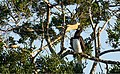 Malabar pied hornbill on a tree.jpg