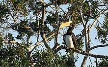 Malabar pied hornbill on a tree.jpg