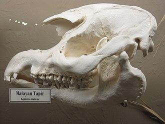 Malayan tapir - Photo of a Malayan tapir skull on display at the Museum of Osteology