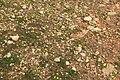 Malta - Marsaxlokk - Triq Delimara - Xrobb L-Ghagin - Anthemis urvilleana + Romulea columnae 03 ies.jpg