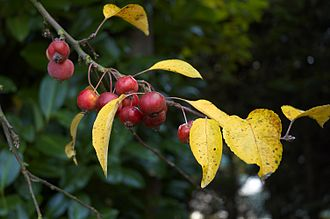 Malus 'Evereste' - Ripe fruits of Malus 'Evereste' with yellowing foliage