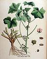 Malva borealis — Flora Batava — Volume v16.jpg