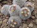Mammillaria bocasana - Roscoff.jpg