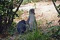 Manchot de Humboldt (Zoo Amiens)3.JPG