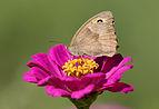 Maniola jurtina - Meadow brown 04.jpg
