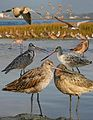 Marbled Godwit Bk-Tailed Godwit From The Crossley ID Guide Eastern Birds.jpg