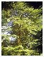 March Spring Atlas Ceder 80 Meter Botanischer Garten Freiburg - Master Botany Photography 2013 - panoramio.jpg