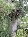 Mareikura - oldest known matai tree.jpg
