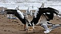 Margate Pelican Rescue- about to be snared-1 (6807921336).jpg