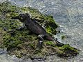 Marine iguana - Flickr - pellaea.jpg