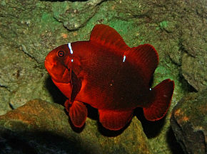 Description de l'image Maroon Clown Fish444.jpg.