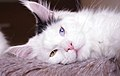 Masquerade, femelle Maine coon yeux vairons - Odd eyed 01.jpg
