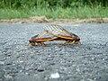 Mating Cicadas.jpg