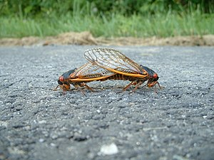 These Brood X Cicadas were mating on a road du...