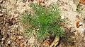 Matricaria chamomilla plant (03).jpg