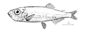 Maurolicus muelleri.jpg