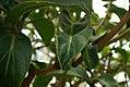 Medinilla magnifica 6zz.jpg
