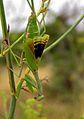 Mediterranean Mantis (Iris oratoria) female (8348866111).jpg