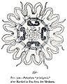 Medusae of world-vol03 fig350 Palephyra primigenia.jpg