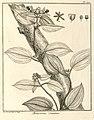 Melastoma scandens Aublet 1775 pl 172.jpg