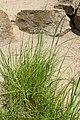 Melica altissima kz01.jpg