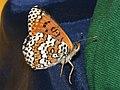 Melitaea cinxia - Glanville fritillary - Шашечница обыкновенная (41152380571).jpg