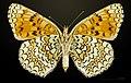 Melitaea phoebe MHNT CUT 2013 3 29 Les Vigneaux female ventral.jpg