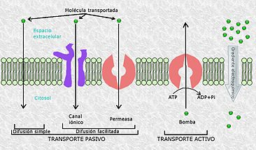 MembraneTransport.jpg