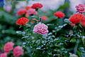 Memorial Day Vintage Roses (5777669976).jpg