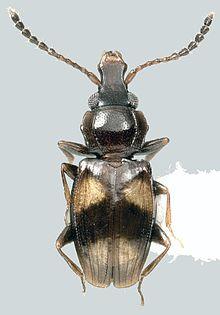 Metaxyphloeus germaini dorsalMontage.jpg