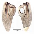 Metrioptera brachyptera.png