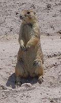 Mexican prairie dog