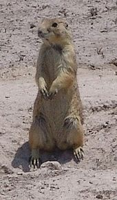 Pictures Of A Mexican Prairie Dog