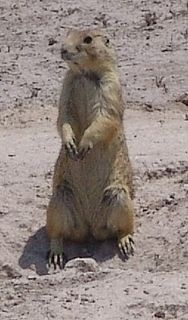Mexican prairie dog species of mammal